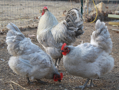 Roosters and Hens from USDA Calendar